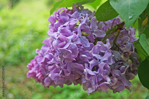 Fototapeten Natur Lilac, purple and pink lilac flowers on a branch with green leaves on a spring sunny day