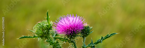 Photo Blooming pink thistle flower in a meadow on a sunny day.