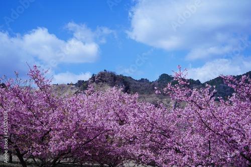 Foto auf AluDibond 満開の南阿蘇桜公園と阿蘇山の風景