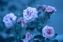 Rosebush In The Garden. Blue Vintage Flower Nature Background