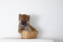 籠の中でおとなしくする豆柴子犬