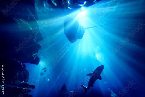 Valokuva  Silhouette of manta ray in aquarium