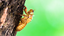 Cicada Insect Molting On Tree ...