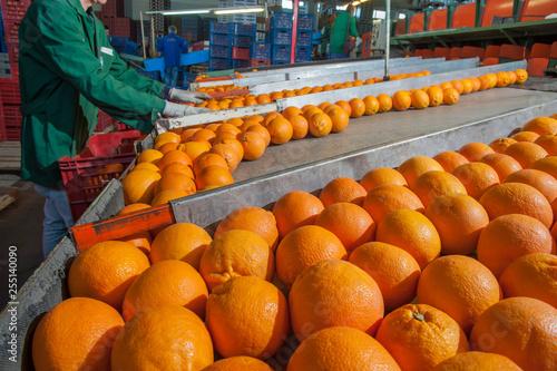 Fotografie, Obraz  Citrus fruits processing: manual packaging of tarocco fruits after the calibrati