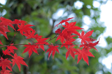 Beautiful Red Maple Leaves (Momiji) During Japanese Autumn