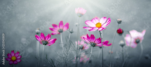 Pink cosmos flowers in the garden .Gray background.