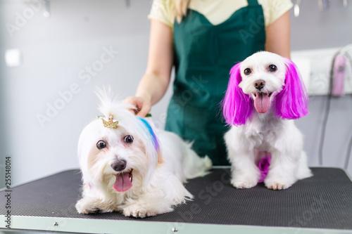 Fotografía  Maltese dogs at grooming salon