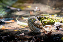 Collared Owlet Bathing In The ...
