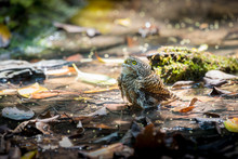 Collared Owlet Bathing In The Stream At Phu Khieo Wildlife Sanctuary, Thailand.