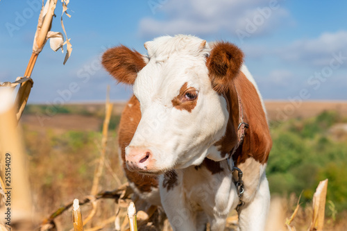 Photo  Young calf, selective focus, on a pasture farm.