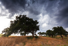 Curved Cork Trees During Storm. Gonnesa, Sud Sardegna Province, Sardinia, Italy, Europe.