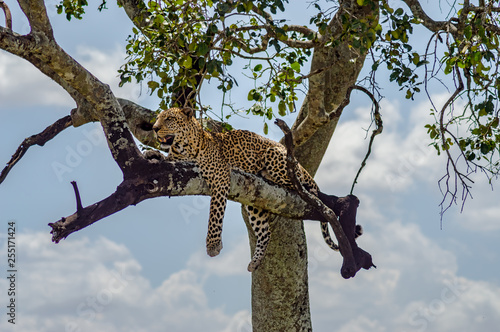 Poster Leopard Leopard lying on a branch of a tree in the Masai Mara