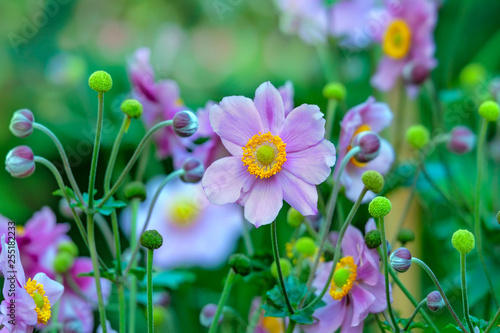 Anemone hupehensis or thimble weed. Wildflowers in autumn. Wallpaper Mural
