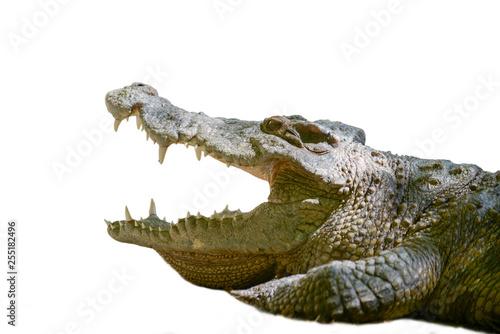 Fotografie, Obraz  Crocodile mouth
