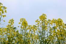 Mustard Plants In Farms In Sta...