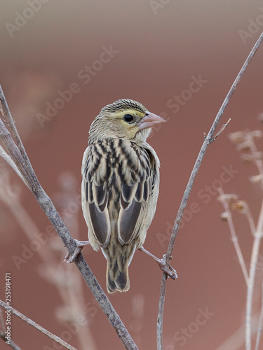 Canvas Print Northern red bishop (Euplectes franciscanus)
