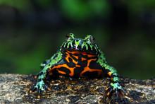 Oriental Fire Bellied Toad, Fi...