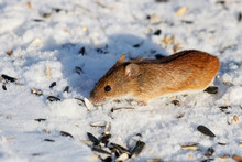 Striped Field Mouse Eating Sunflower Seeds On Snow In Winter. Cute Little Common Rodent Animal In Wildlife.