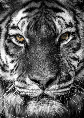 Foto auf AluDibond Tiger portrait of a tiger