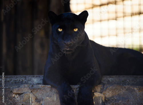 Montage in der Fensternische Panther beautiful black panther