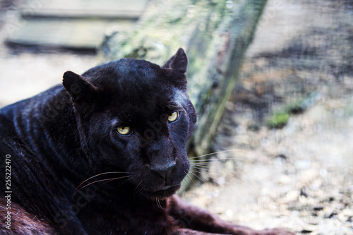Deurstickers Panter Beautiful black Panther