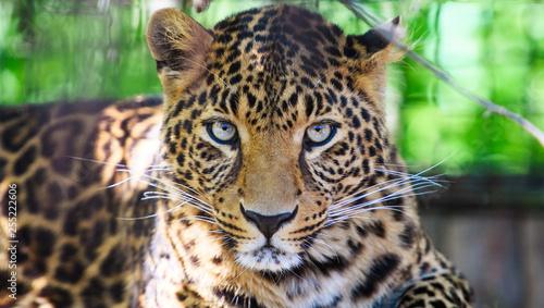 Poster Leopard Portrait of a beautiful leopard