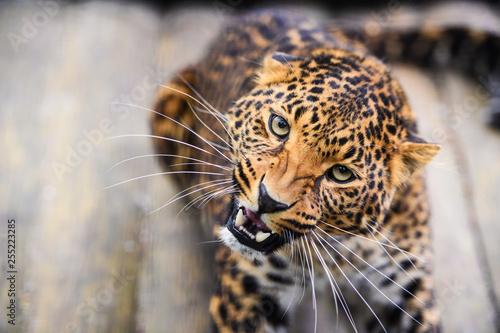 Valokuva  Portrait of a beautiful leopard