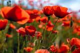 Fototapeta Kwiaty - wiosenne kwiaty