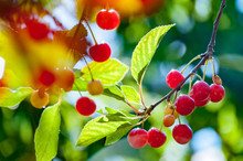Close Up Of Red Cherries On Tree