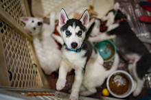 Portrait Of Siberian Husky Pup...