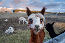 Portrait Of Alpaca On Farm