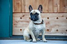 French Bulldog Sitting Outdoors