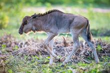 Blue Wildebeest Calf Walking O...