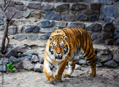 Canvas Print Beautiful Amur tiger