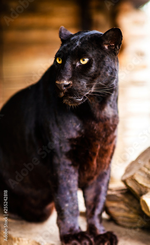 Vászonkép Beautiful black Panther