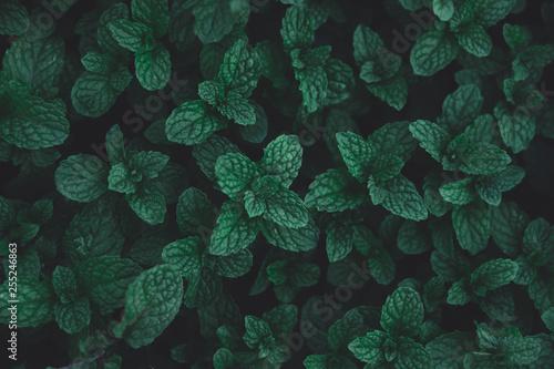 Fototapeta Peppermint leaves dark tone background. Green leaves pattern background. Flat lay.  obraz