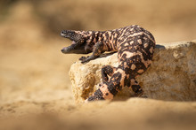 Black And Pink Striped Lizard ...