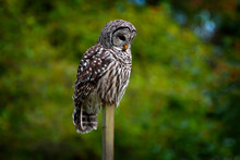 Barred Owl Sitting On A Fence ...