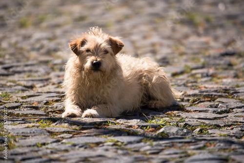 Foto  Cão em calçada de pedra