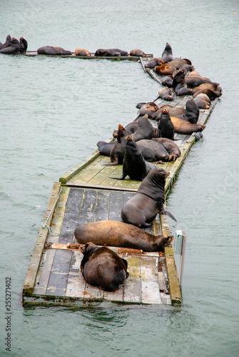 Fotografia  Sea Lions Basking