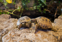 Two Young Pet Tortoises Intera...