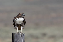 A Red-tailed Hawk Perches On A...