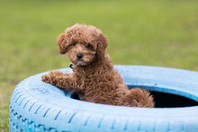 Fluffy Redhead Bichon Poodle Bichpoo Dog Outside In Yard