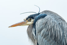 Close Up Portrait Of One Great Blue Heron Resting Under The Wind Under Overcast Sky