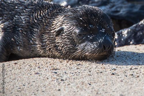 Fotografie, Obraz  Galapagos Seal Cub