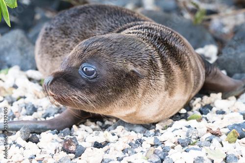 Fotografie, Obraz  Galapagos Sea Lion Seal Cub