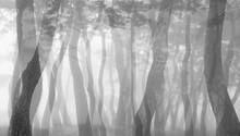 안개 낀 소나무숲 풍경