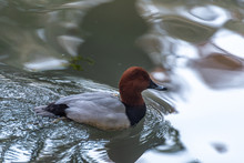 The Submersible Duck In The Pond
