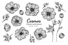 Collection Set Of Cosmos Flower And Leaves Drawing Illustration.