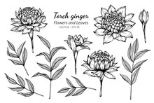 Collection Set Of Torch Ginger Flower And Leaves Drawing Illustration.